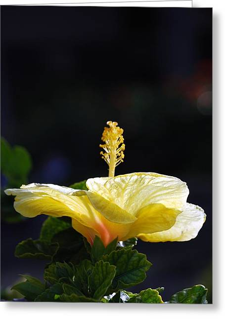 Greeting Card featuring the photograph Hibiscus Morning by Debbie Karnes