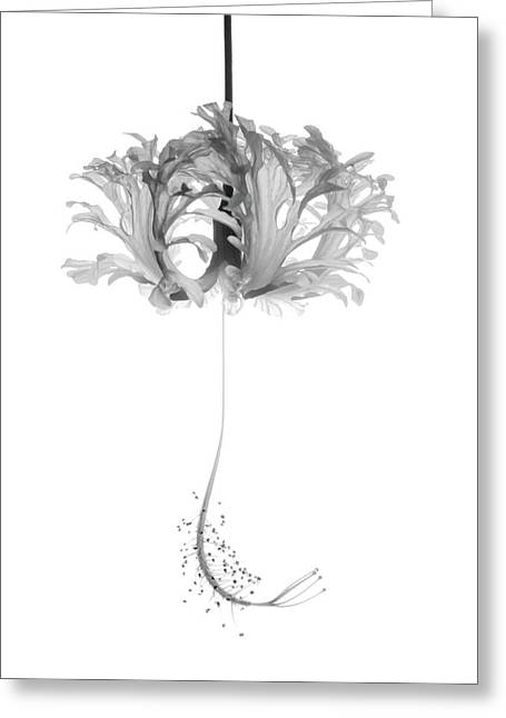 Hibiscus Schizopetalus Against A White Background In Black And White Greeting Card