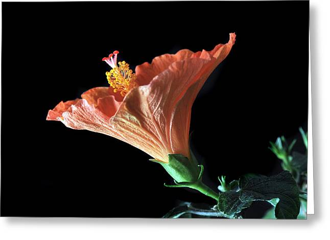 Hibiscus Vein Greeting Card by Terence Davis
