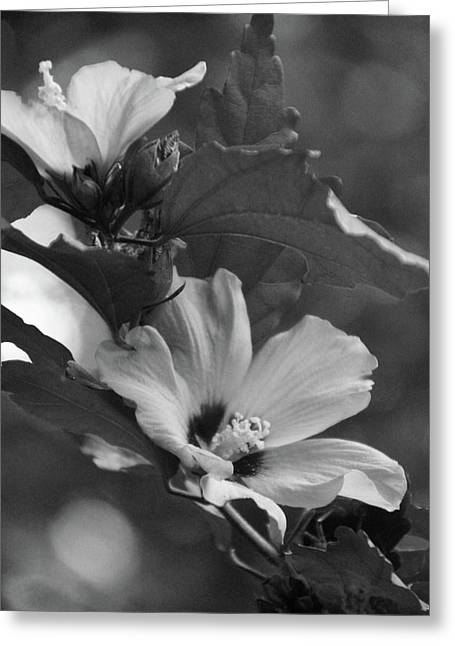 Hibiscus5586 Bw Greeting Card by Carolyn Stagger Cokley