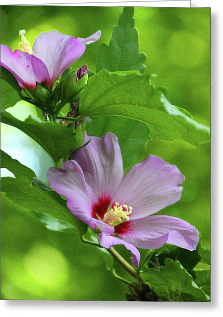 Hibiscus5586 Greeting Card by Carolyn Stagger Cokley