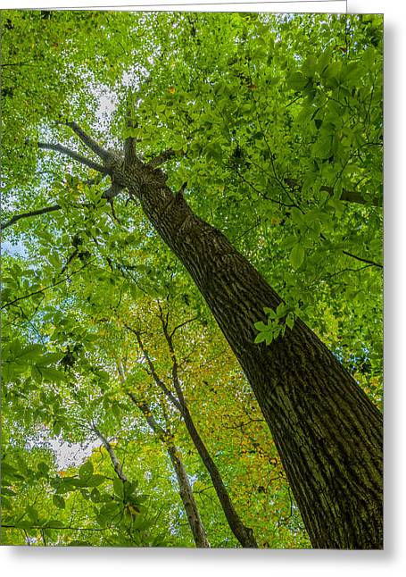 Hickory Tree, Fischer Old Growth Forest Greeting Card by Paul Duncan