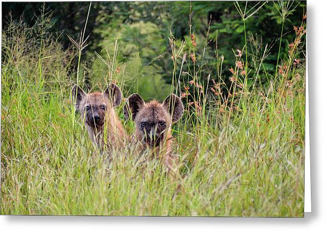 Hide-n-seek Hyenas Greeting Card