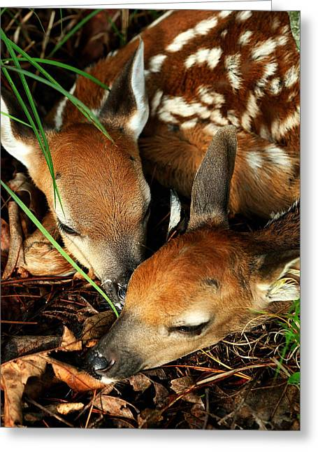 Hiding Twin Whitetail Fawns Greeting Card