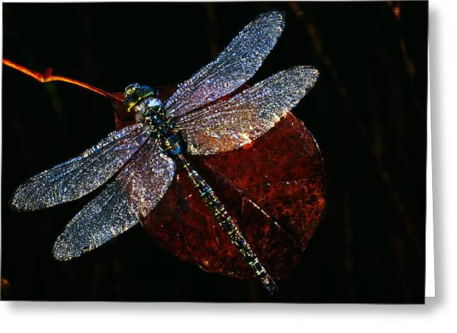 High Angle View Of Blue Darner Greeting Card by Panoramic Images