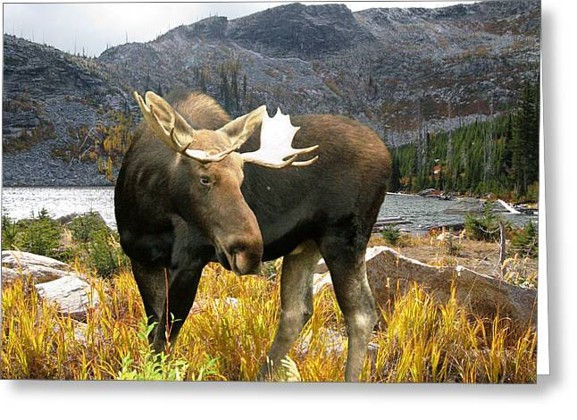 High Country Moose Greeting Card by Robert Bissett