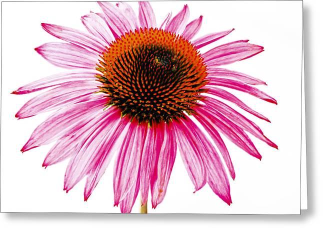 High Key Echinacea Greeting Card