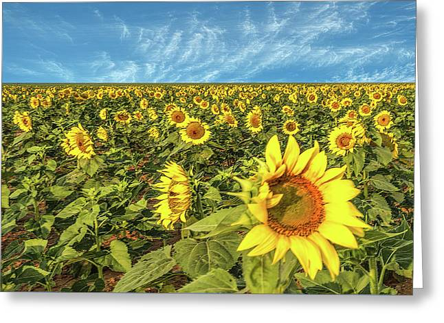 High Plains Sunflowers Greeting Card