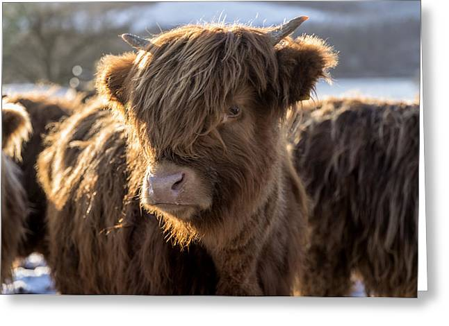 Highland Baby Coo Greeting Card by Jeremy Lavender Photography