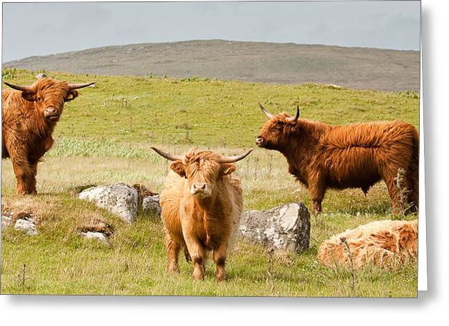 Highland Cattle Greeting Card by Colette Panaioti