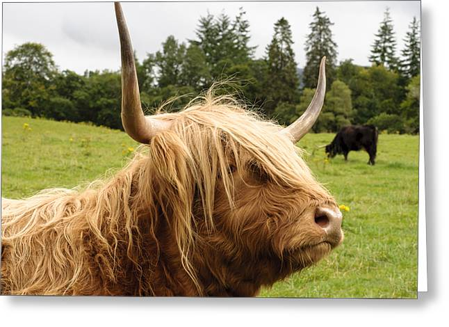 Greeting Card featuring the photograph Highland Coo by Christi Kraft