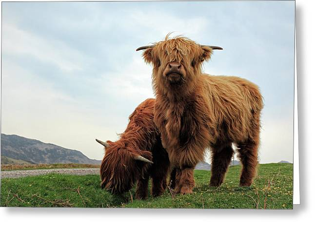 Highland Cow Calves Greeting Card