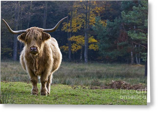 Highland Cow In France Greeting Card by Jean-Louis Klein & Marie-Luce Hubert