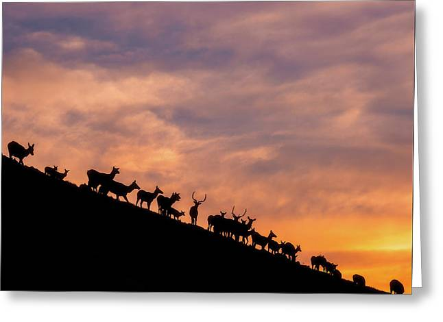 Greeting Card featuring the photograph Hillside Elk by Darren White
