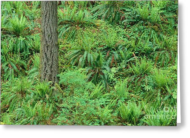 Hillside Ferns Greeting Card by Greg Vaughn - Printscapes