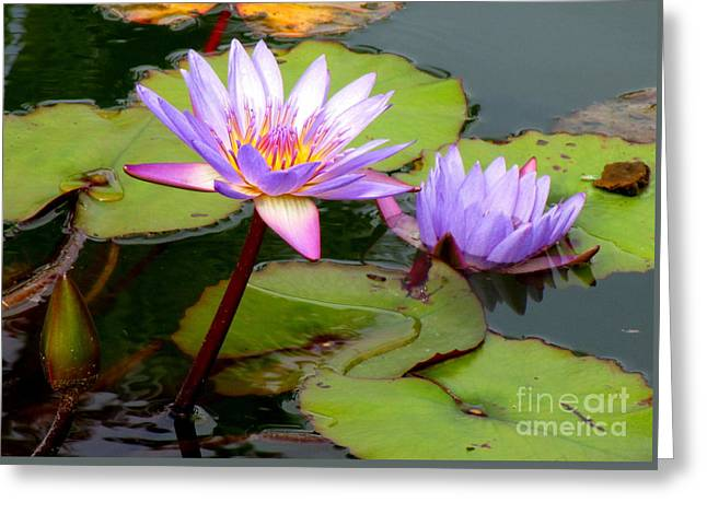 Hilo Water Lily 2 Greeting Card by Randall Weidner