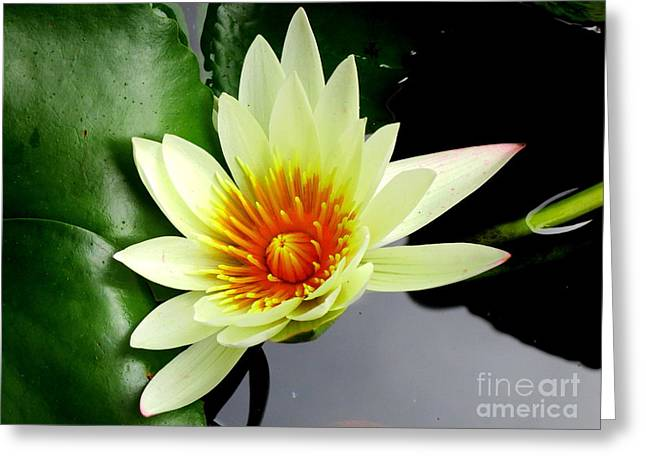 Hilo Water Lily 3 Greeting Card by Randall Weidner