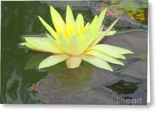 Hilo Water Lily 4 Greeting Card by Randall Weidner