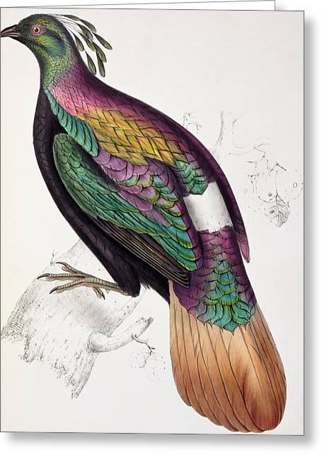 Himalayan Monal Pheasant Greeting Card by John Gould