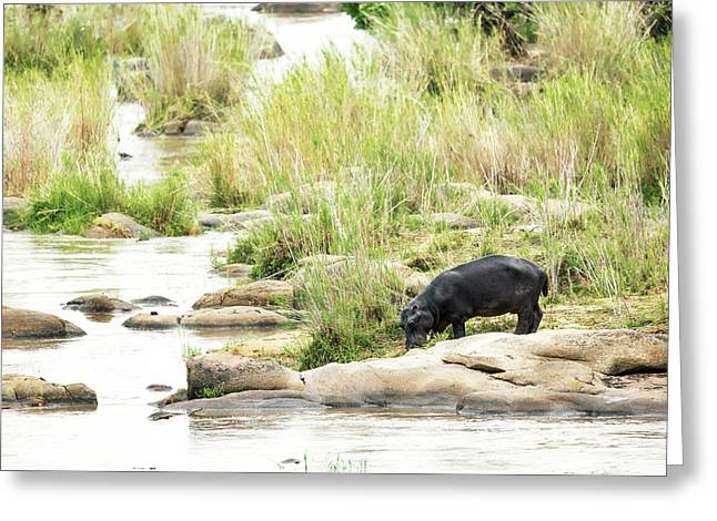 Hippo Drinking Out Of River Greeting Card by Susan Schmitz