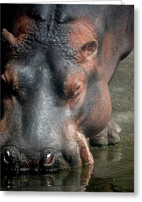 Hippo Drinking Greeting Card by Samantha Kimble