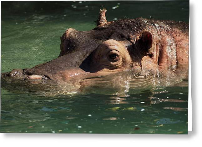 Greeting Card featuring the photograph Hippopotamus In Water by JT Lewis