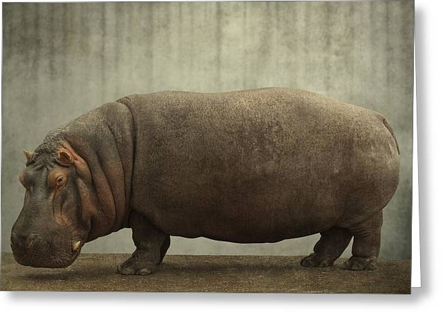 Hippopotamus Digital Greeting Cards - Hippopotamus Portrait Greeting Card by Greg Noblin
