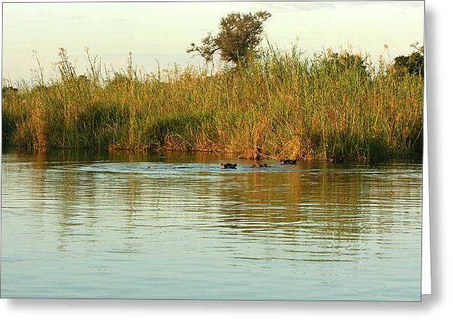 Hippos, South Africa Greeting Card