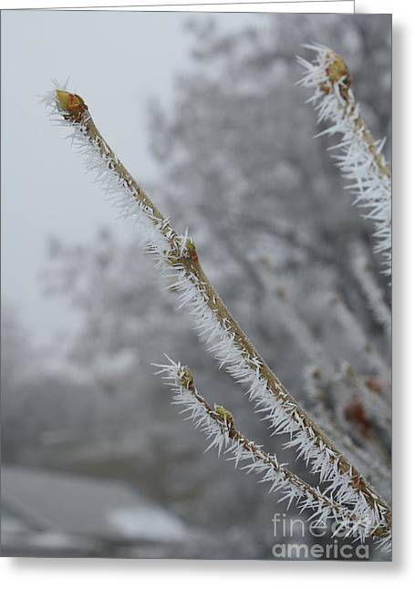 Hoarfrost On Branches And Buds Greeting Card
