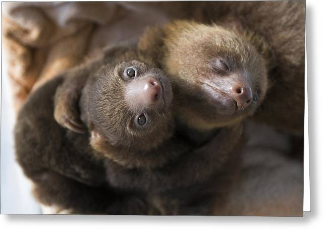 Sloth Greeting Cards - Hoffmanns Two-toed Sloth Orphans Hugging Greeting Card by Suzi Eszterhas