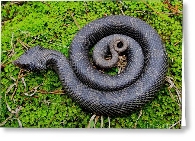 Hognose Spiral Greeting Card