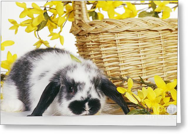 Holland Lop Rabbit With Basket Greeting Card