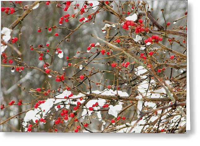 Holly Berries Greeting Card by Martie DAndrea