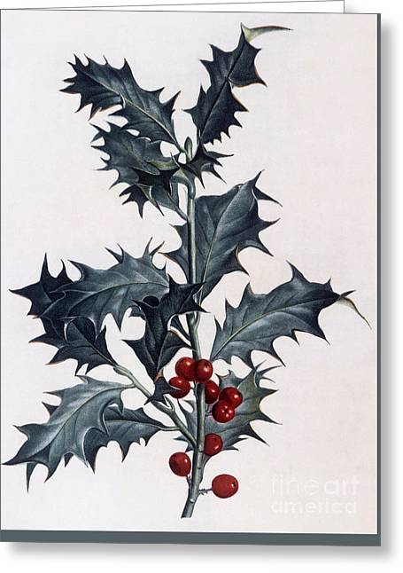 Holly Greeting Card by Pierre Joseph Redoute
