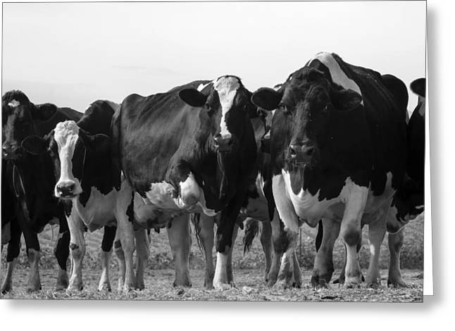 Curious Holsteins Greeting Card