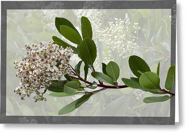 Heteromeles Arbutifolia - Toyon Greeting Card