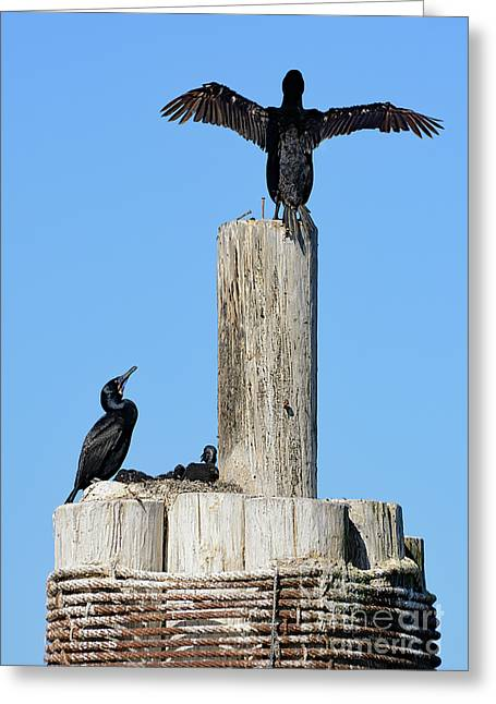 Home Sweet Home Brandt's Cormorant Style Greeting Card