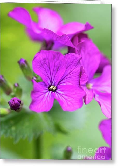 Honesty Flowers In Spring Greeting Card