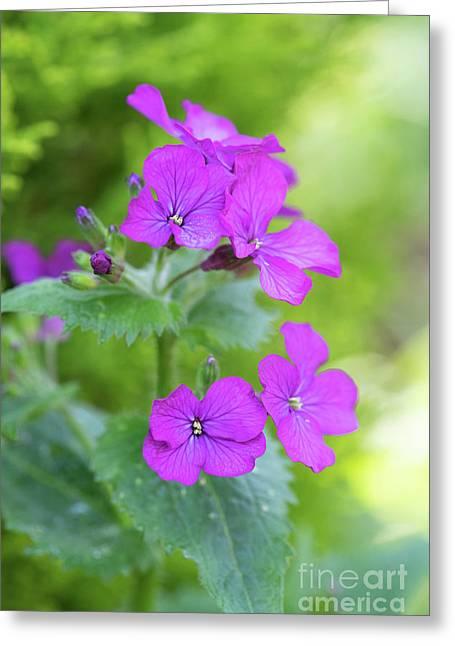 Honesty Flowers Greeting Card