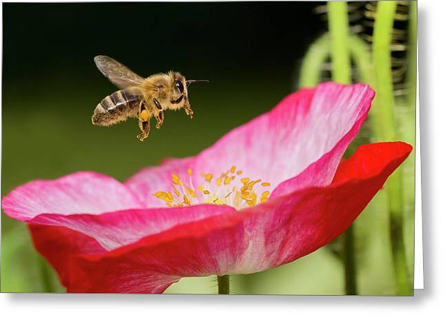 Honey Bee And  Poppy Flower Greeting Card by Mircea Costina Photography