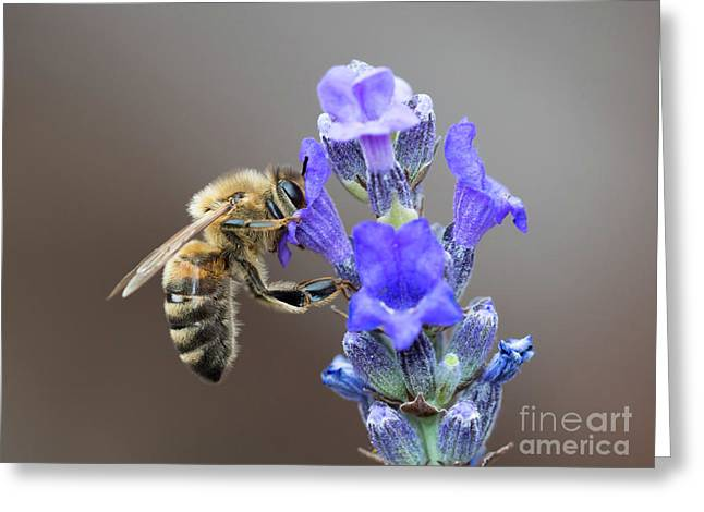 Honey Bee - Apis Mellifera - Feeding On Lavender Greeting Card