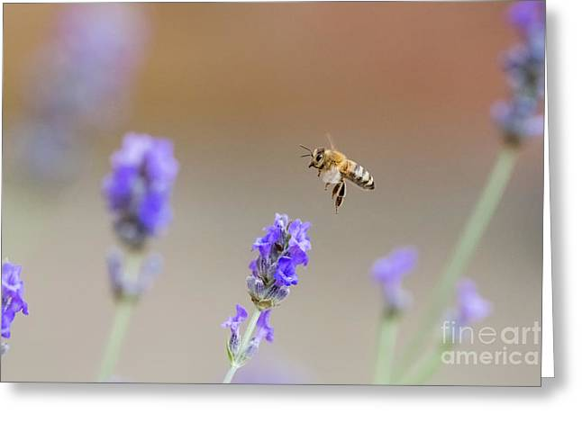 Honey Bee - Apis Mellifera - Flying Through Lavender In Flower Greeting Card