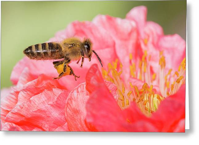 Honey Bee In Flight Greeting Card