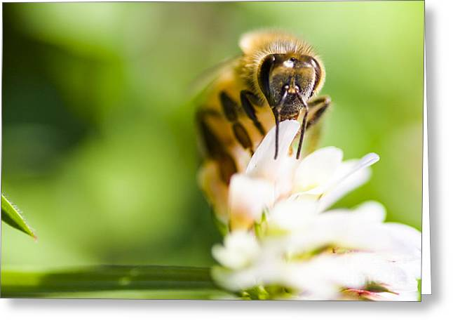 Honey Bee On Clover Flower Greeting Card by Jorgo Photography - Wall Art Gallery