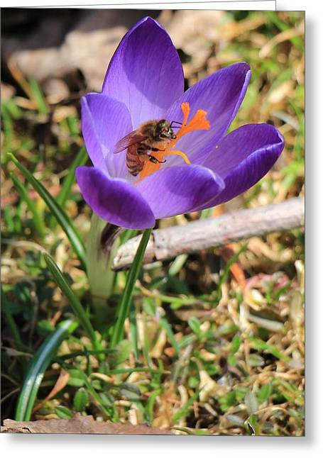 Honey Bee On Crocus  Greeting Card