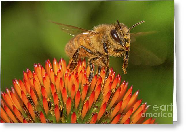 Honey Bee On Flower Two Greeting Card