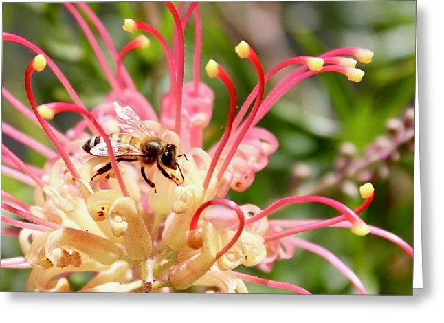 Honey Bee On Grevillea  Greeting Card