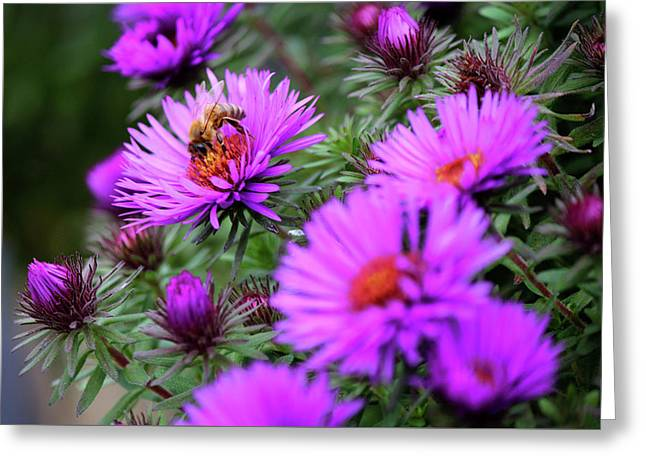 Honey Bee On 'purple Dome' Aster In The Fall Greeting Card by Codee Hart