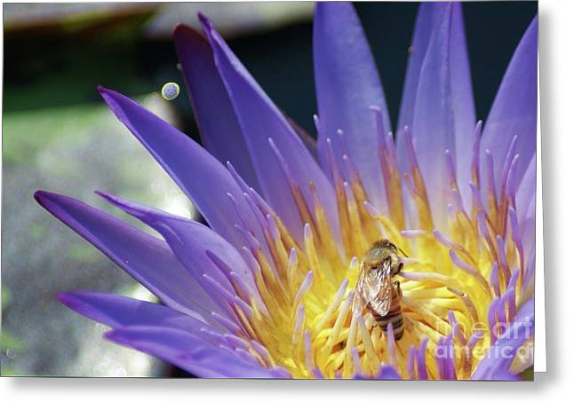 Honey Bee Resting On A Water Lily....   # Greeting Card by Rob Luzier