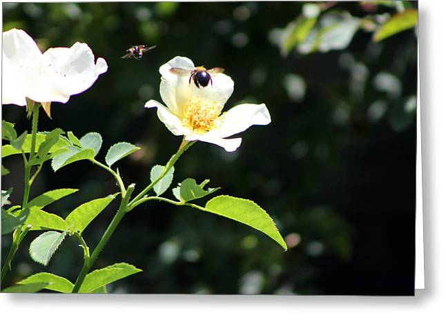 Honey Bees In Flight Over White Rose Greeting Card